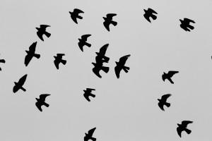 fåglar flock